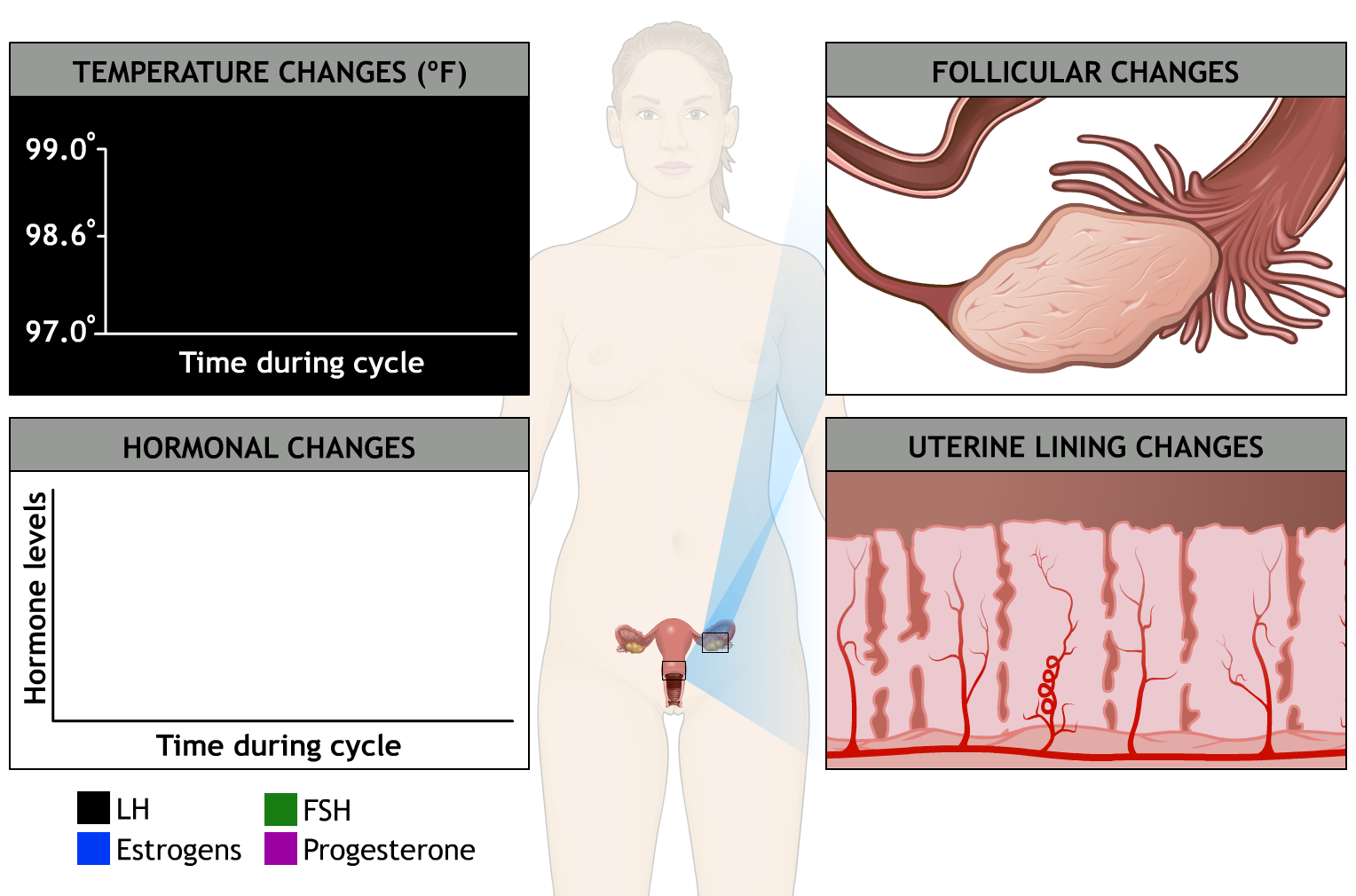 Menstrual cycle - interactive tool