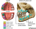 Development of baby teeth