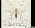 Mosquito, adult