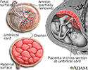 Anatomy of a normal placenta