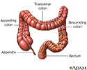 The large intestine